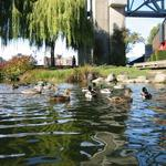 Granville Island Duck Pond photo # 11