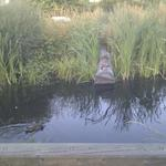 Olympic Village Duck Pond photo # 5