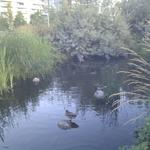 Olympic Village Duck Pond photo # 9